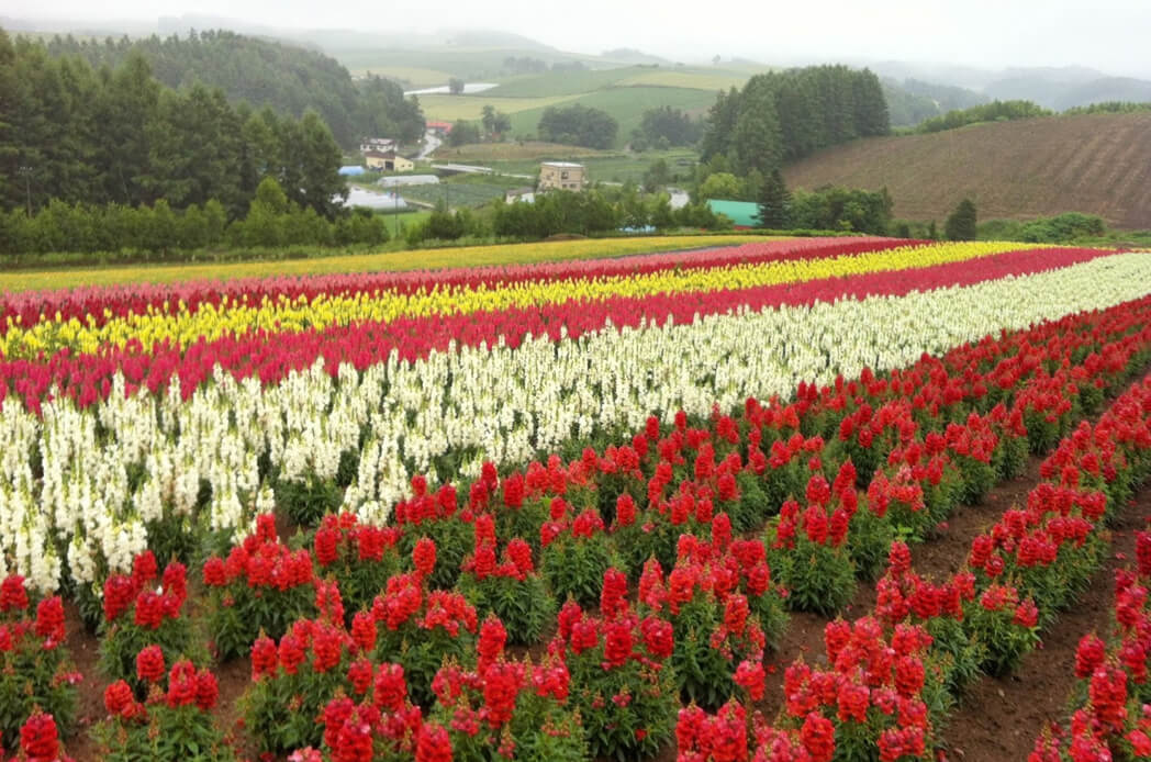Shikisai No Oka, A Stretch Of Lovely Bloom Garden In Hokkaido
